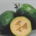 Picture of Feijoa White Goose