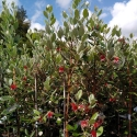 Picture of Feijoa Wiki Tu