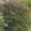 Picture of Fennel Bronze