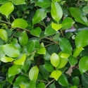 Picture of Ficus Tuffi STD