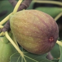 Picture of Fig Brons Beauty