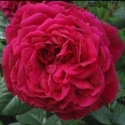 Picture of Fishermans Friend-Rose