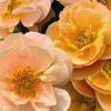 Picture of Flower Carpet Amber std 90cm-Rose