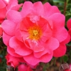 Picture of Flower Carpet Pink
