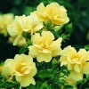 Picture of Flower Carpet Yellow Std 1.8m weeper-Rose