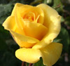 Picture of Friesia Std 80cm-Rose