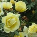 Picture of Fruhlingsgold-Rose