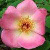 Picture of Fruhlingsmorgen-Rose