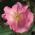 Picture of Fruhlingstunde-Rose