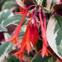 Picture of Fuchsia Firecracker