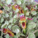 Picture of Fuchsia Procumbens Variegated
