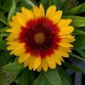 Picture of Gaillardia Blazing Sun