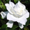 Picture of Gardenia Florida