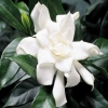 Picture of Gardenia Four Seasons