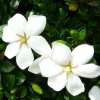 Picture of Gardenia Fragrant Star