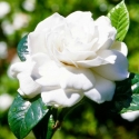 Picture of Gardenia Lace Lady