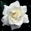 Picture of Gardenia Radicans