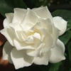 Picture of Gardenia True Love