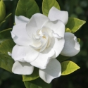 Picture of Gardenia Veitchii