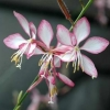 Picture of Gaura Candy Stripe
