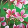 Picture of Gaura Siskyou Pink