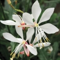 Picture of Gaura Sparkle White
