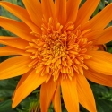 Picture of Gazania Arizona