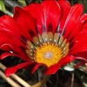 Picture of Gazania Takatu Red