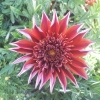Picture of Gazania Velvet Belle