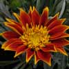 Picture of Gazania Vesuvius