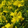 Picture of Genista Yellow Imp Std