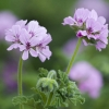 Picture of Geranium Attar of Roses