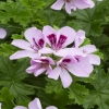 Picture of Geranium Citriodorum Lemon