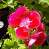 Picture of Geranium Fairy Velvet