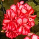 Picture of Geranium Mexica Ruby