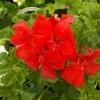 Picture of Geranium Ruby