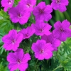 Picture of Geranium Tiny Monster