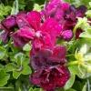 Picture of Geranium Tomcat