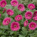 Picture of Gerbera Sweet Spice
