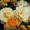 Picture of Ghislaine de Feligonde Clg-Rose