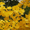 Picture of Ginkgo Autumn Gold
