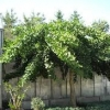 Picture of Ginkgo Little Weeper