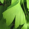 Picture of Ginkgo Saratoga