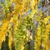 Picture of Gleditsia Emerald Cascade L/W