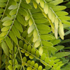 Picture of Gleditsia Sunburst