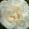 Picture of Gloire de Lyonnaise -Rose