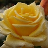 Picture of Glorious Std 80cm-Rose