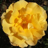 Picture of Gold Dust-Rose