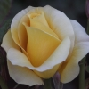 Picture of Gold n Glory-Rose