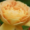 Picture of Golden Celebration Std 80cm-Rose